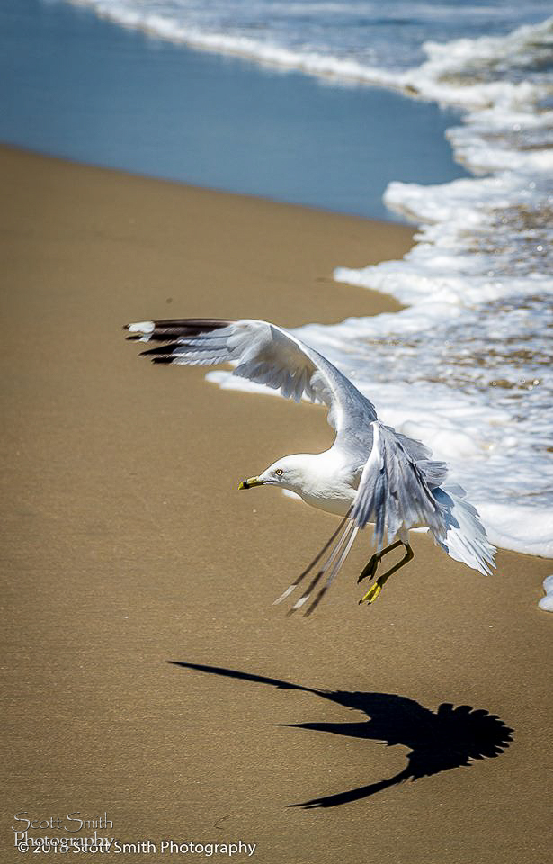 Landing - A gull approaching the sand, looking for a snack. by Scott Smith Photos