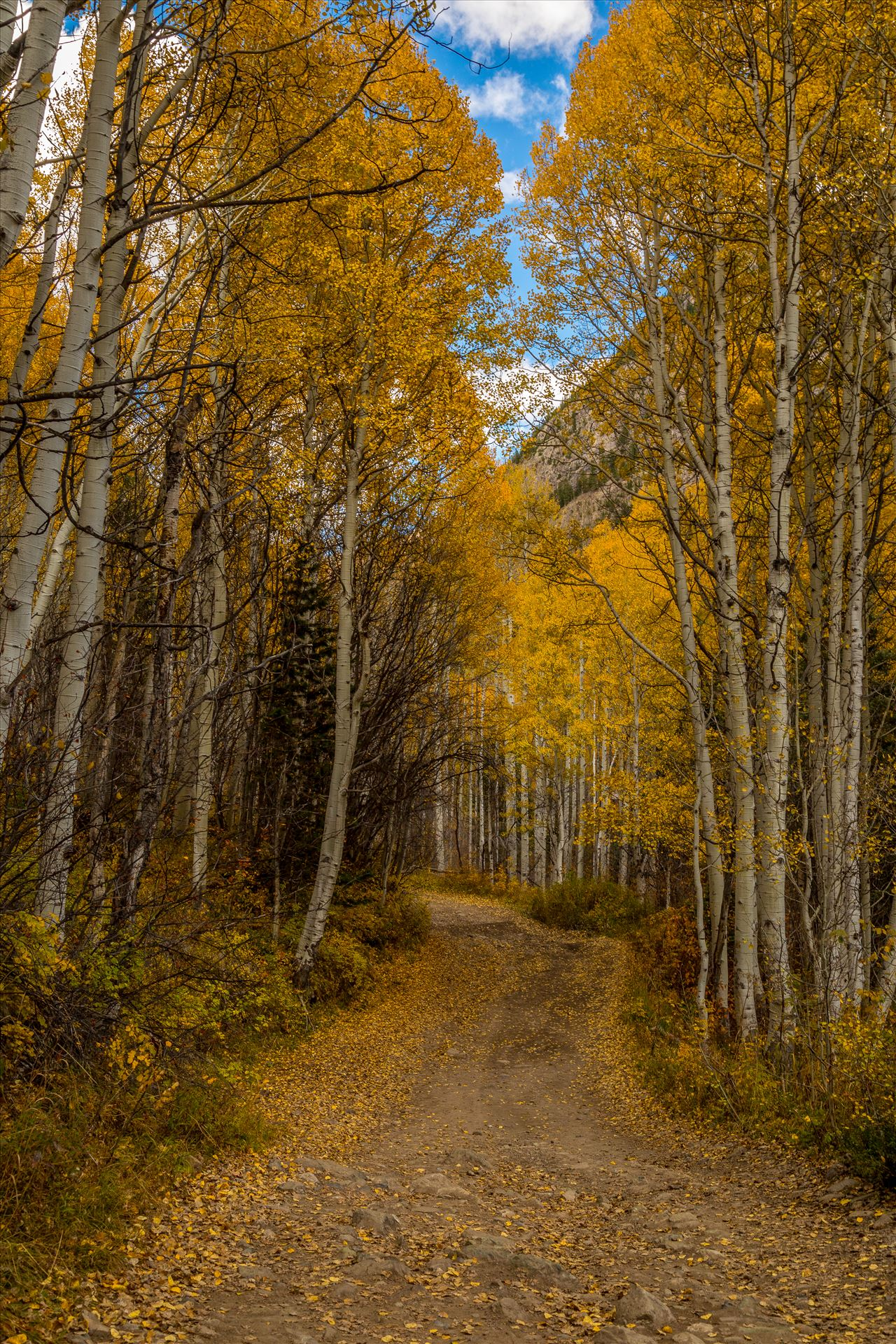 Road to Crystal - Aspens close in a canopy over Road #3, near Crystal Colorado. by Scott Smith Photos