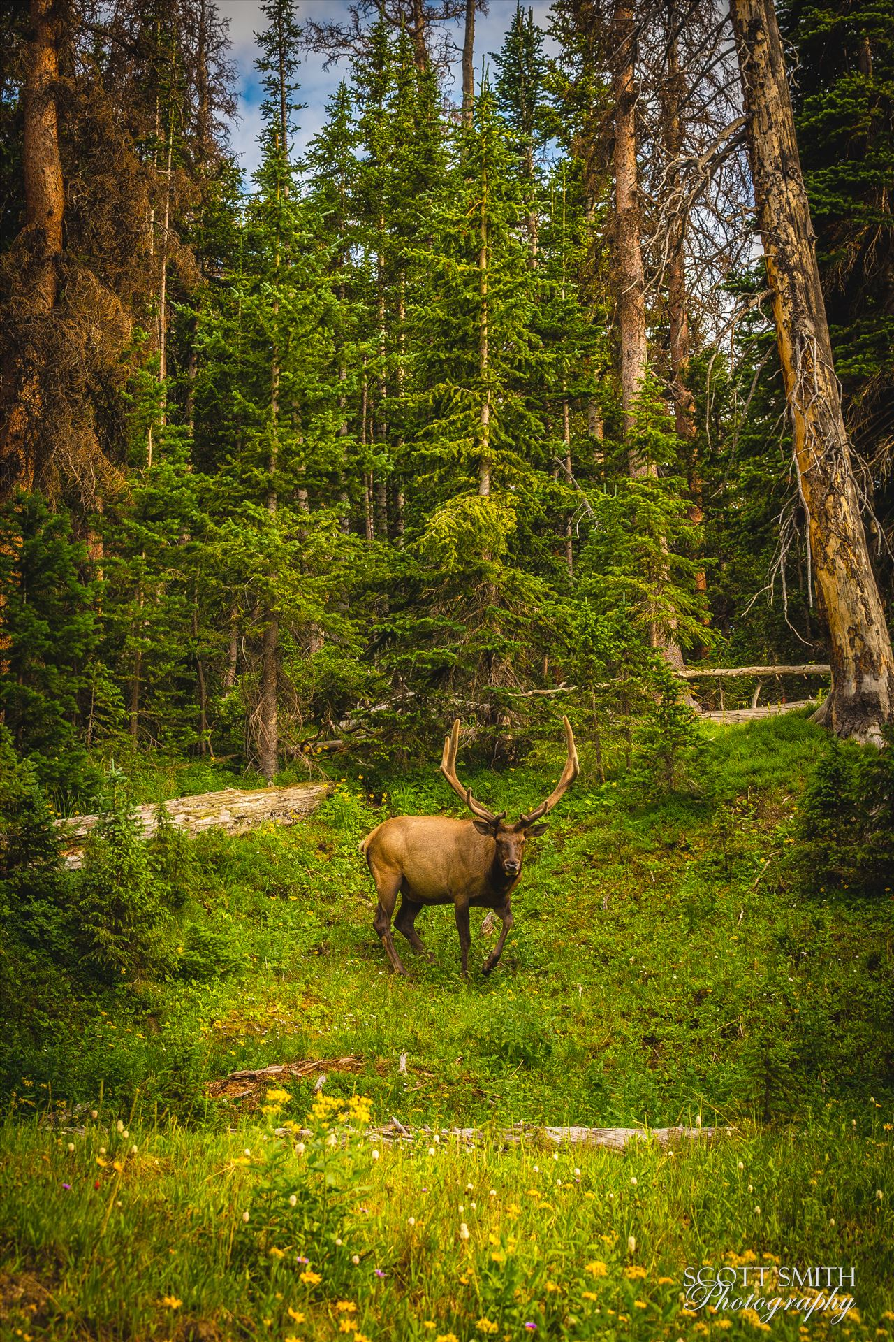 Elk in the Wild No 2 - A large buck enjoying a summer day in the Rocky Mountain National Park. by Scott Smith Photos