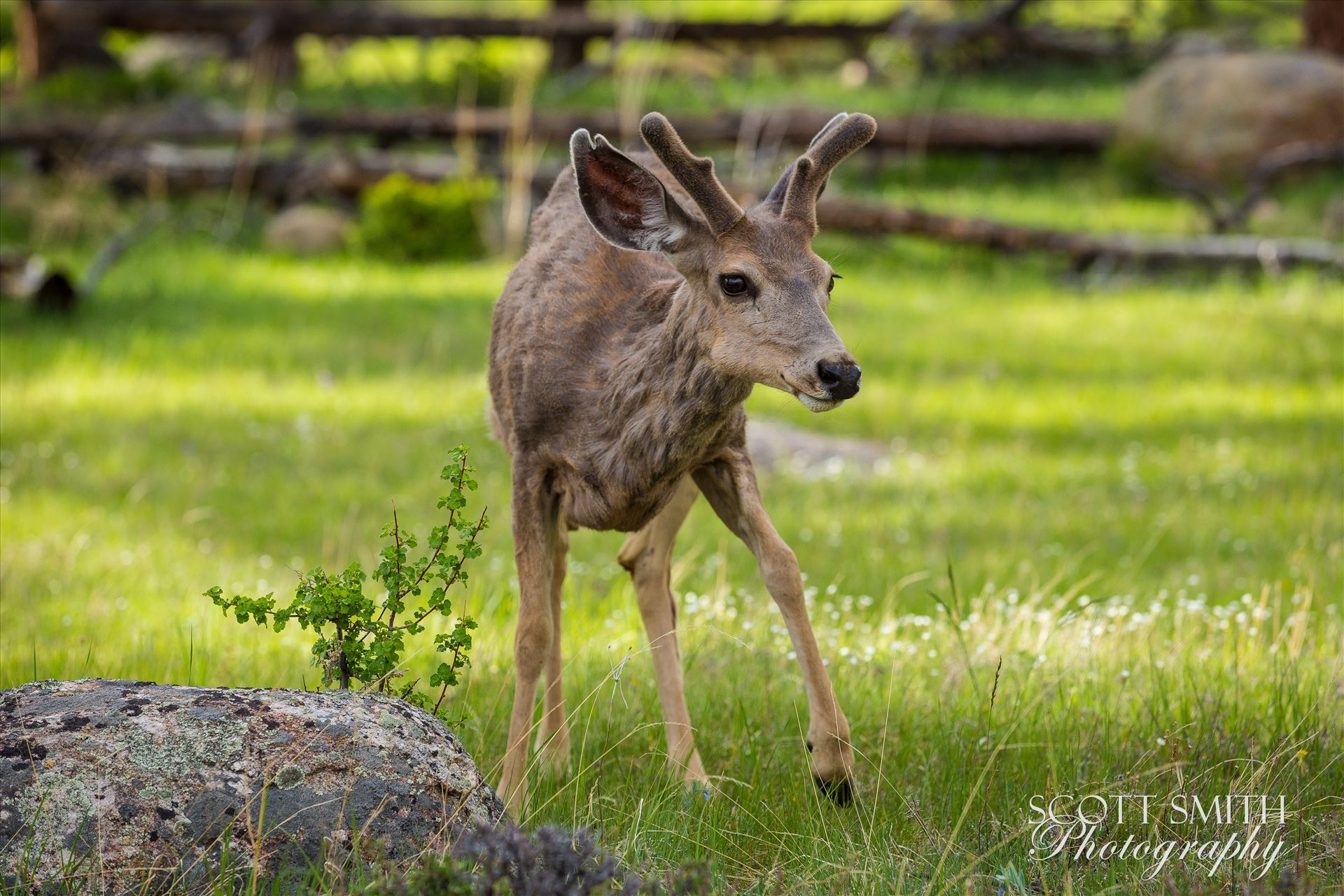Rocky Mountain National Park Deer 2 -  by Scott Smith Photos