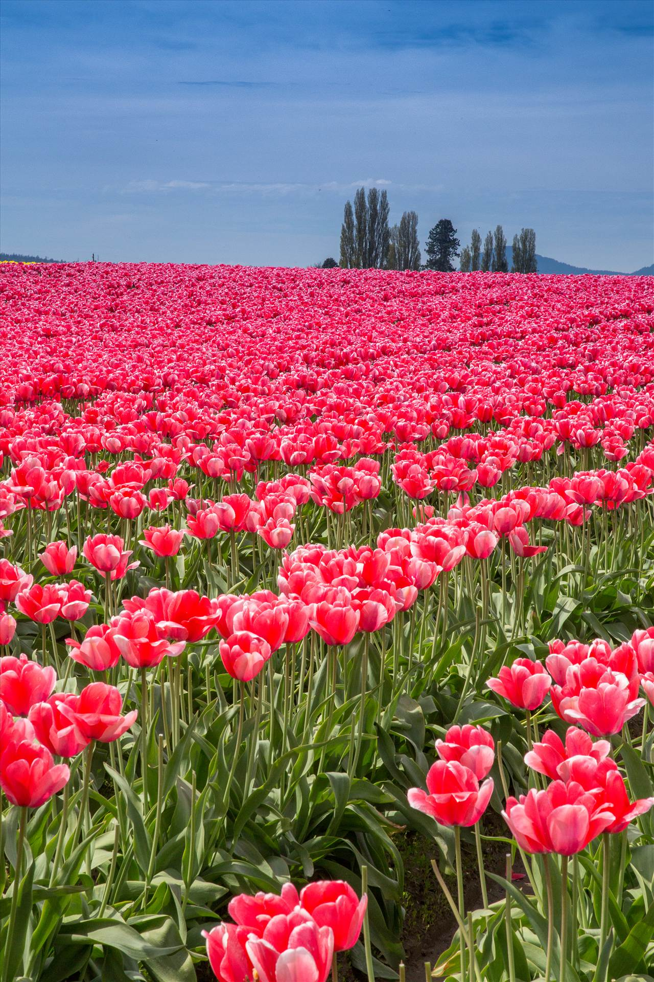 Tulips 3 - From the Skagit County Tulip Festival, 2012. by Scott Smith Photos