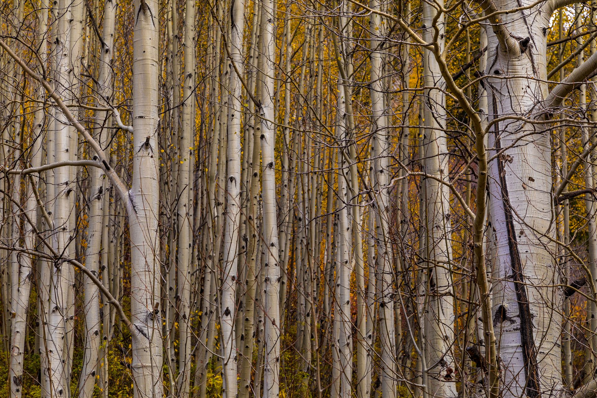Simple Aspens - A dense grove of aspens near Marble, Colorado, in the fall. by Scott Smith Photos