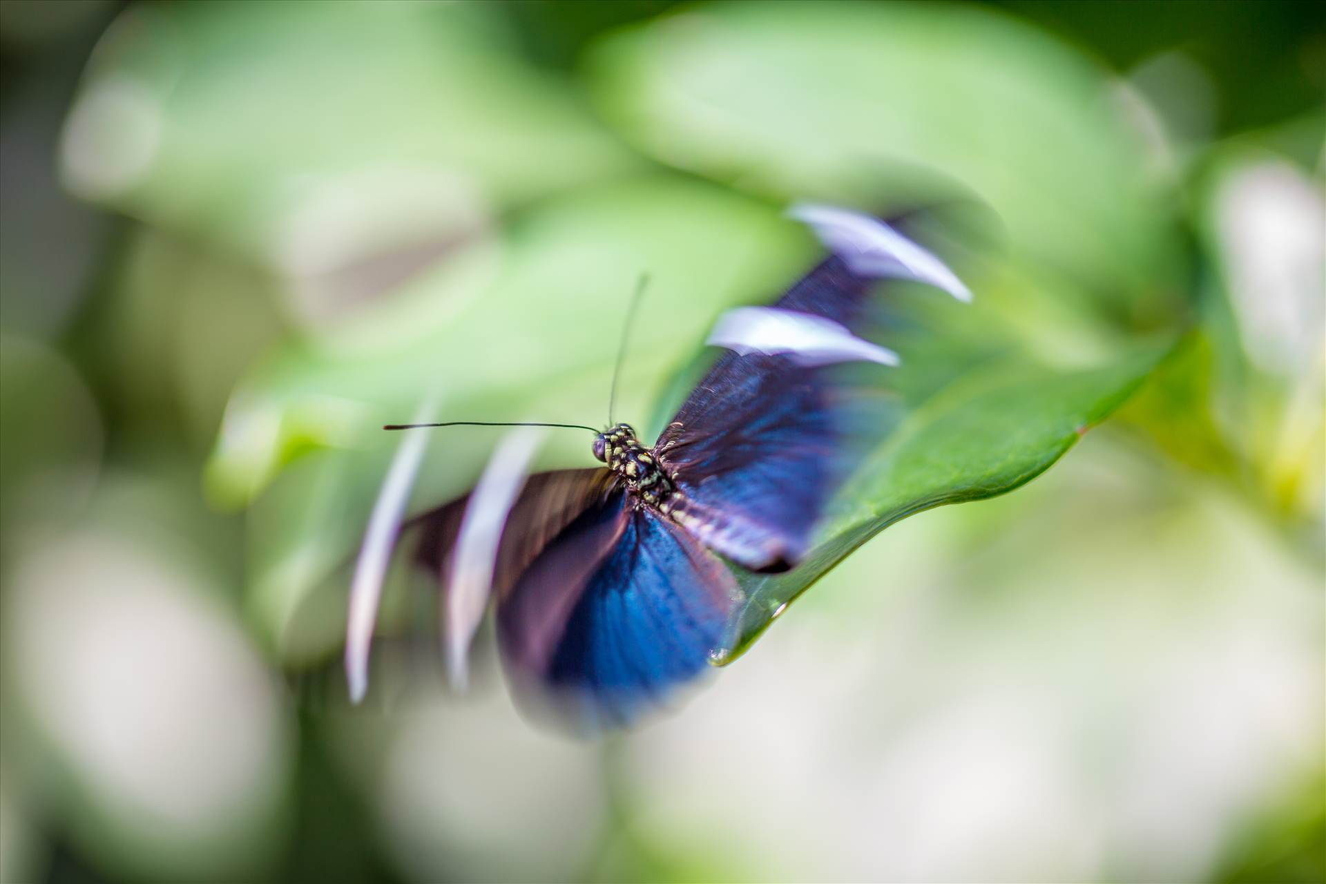 Flutter - A butterfly hovers gracefully at the Butterfly Pavillion, Westminster, Colorado. by Scott Smith Photos