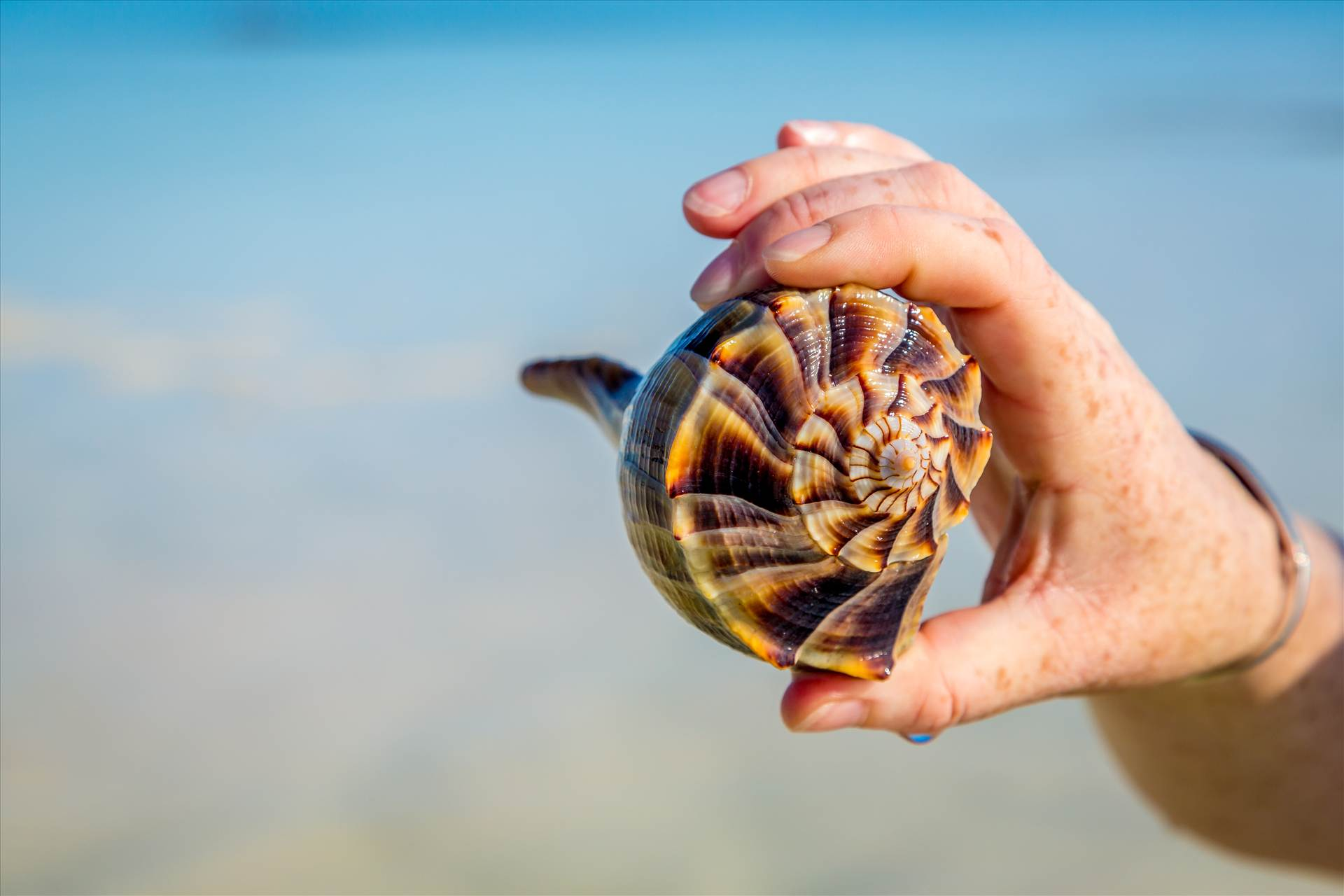Shell in Hand - A beautiful conch found on Woman Key, near Key West, Florida. by Scott Smith Photos