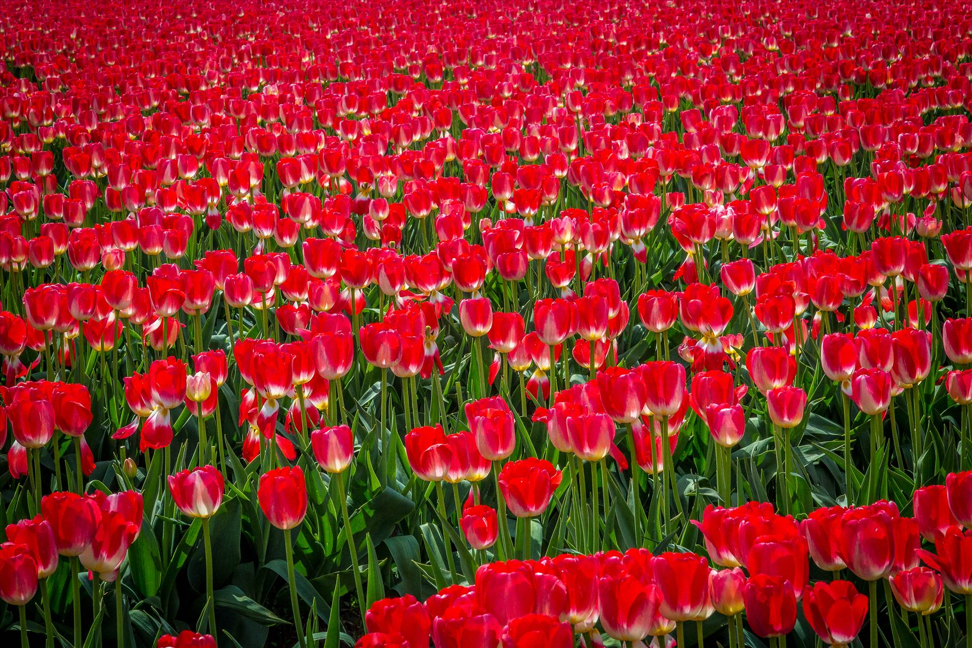 Sea of Red Tulips - From the Skagit County Tulip Festival in Washington state. by Scott Smith Photos