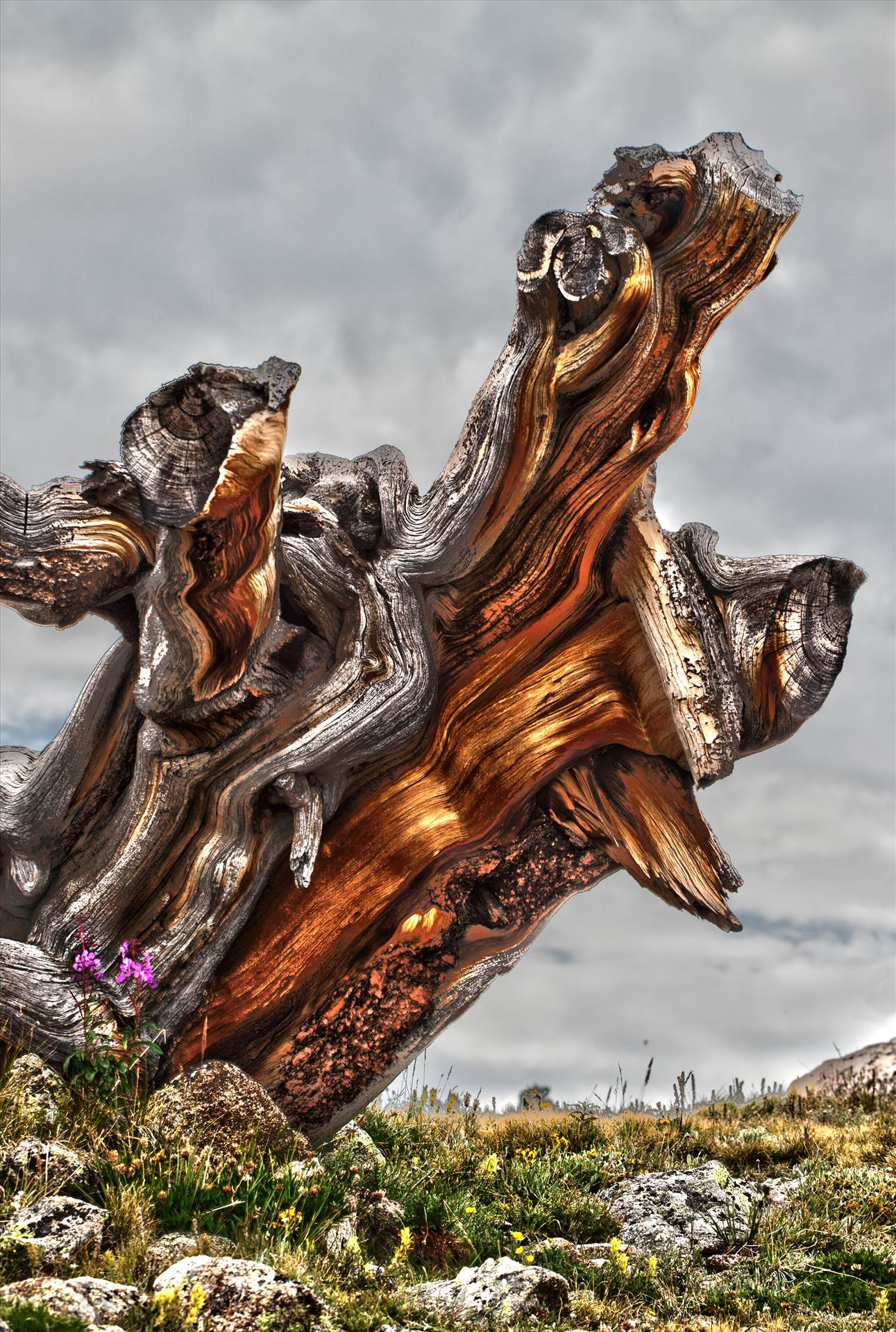 Ancient Tree - An ancient tree stump near Mt Evans, Colorado. by Scott Smith Photos