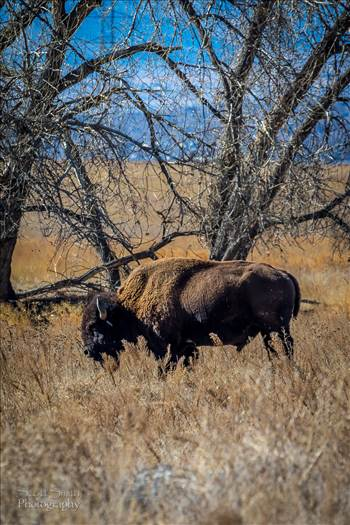 A bison at the Rocky Mountain Arsenal Wildlife Refuge..