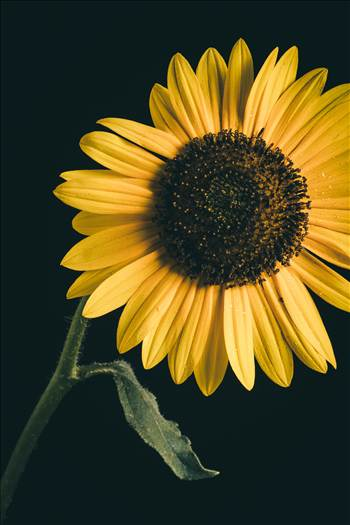 Preview of Backyard Sunflowers II