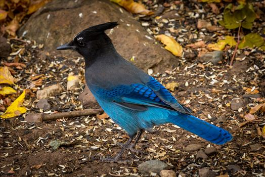 A Steller's Jay, spotted in Ouray, Colorado.