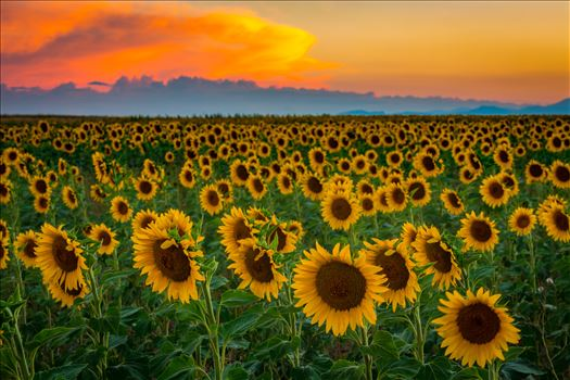 Preview of Denver Sunflowers at Sunset No 3