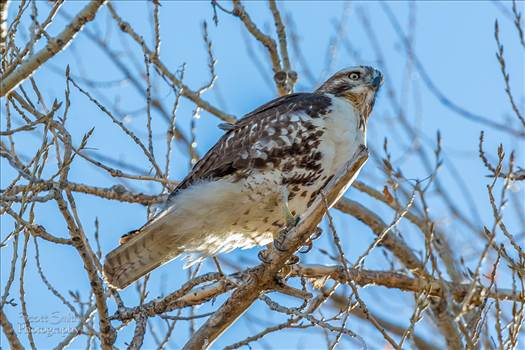 A Swainson's Hawk enjoying the view at the Rocky Mountain Arsenal Wildlife Refuge.