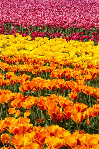 Preview of Tulips 4